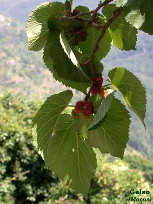 Gelso bianco e gelso nero morus alba e morus nigra for Gelso pianta